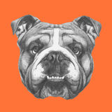 Hand drawn portrait of English Bulldog. Vector Stock Photo