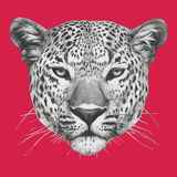 Hand drawn portrait of Leopard. Vector Stock Image