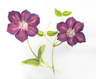 Hand drawn purple Clematis. Branch with two flowers royalty free illustration