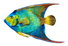 Hand drawn Queen Angelfish isolated on white. Background, watercolor illustration royalty free stock photos