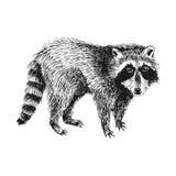 Hand drawn raccoon Royalty Free Stock Photos