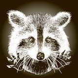Hand drawn raccoon Stock Images