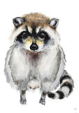 Hand drawn raccoon. Watercolor hand drawn raccoon isolated on white. Watercolor painting, animal illustration Royalty Free Stock Photo