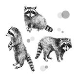 3 hand drawn raccoons. Black and white hand drawn raccoons. Vector illustration in vintage style Stock Images