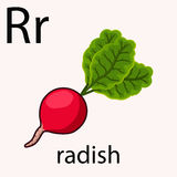 Hand drawn radish illustration Royalty Free Stock Image