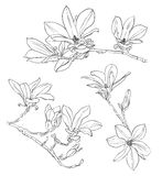 Hand drawn realistic magnolia drawing set. Floral background royalty free illustration