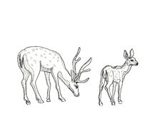 Hand drawn realistic sketch of deers Stock Photos
