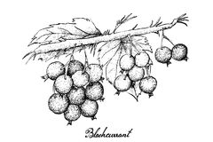 Hand Drawn of Ripe Blackcurrants on White Background Royalty Free Stock Photos