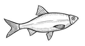 Hand drawn Roach fish. Cartoon animal sketch illustration. Roach in motion. Hand drawn engraved etch ink illustration. Marine food. Healthy seafood. Organic Stock Photo