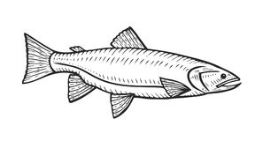 Hand drawn Roach fish. Cartoon animal sketch illustration. Roach in motion. Hand drawn engraved etch ink illustration. Marine food. Healthy seafood. Organic Royalty Free Stock Images