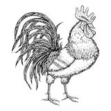 Hand drawn rooster on white background. Oriental zodiac. Symbol 2017. Rooster animal. Editable vector illustration Stock Image