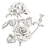 Hand drawn rose Royalty Free Stock Photo