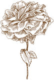 Hand Drawn Rose Royalty Free Stock Images