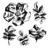 Hand drawn rose-hip flowers and leaves. Hand drawn black and white rose-hip flowers and leaves Stock Photos