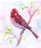 Hand drawn rosefinch. A picture of the watercolor rosefinch Stock Photo