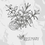 Hand drawn rosemary Stock Photography