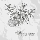 Hand drawn rosemary Stock Photography