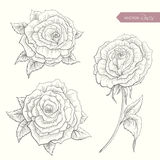 Hand Drawn Roses Royalty Free Stock Images