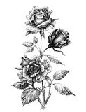 Hand drawn roses Royalty Free Stock Photography