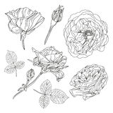 Hand drawn roses set Royalty Free Stock Images