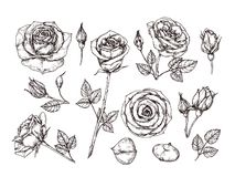 Hand drawn roses. Sketch rose flowers with thorns and leaves. Black and white vintage etching vector botanical isolated. Set. Illustration of rose petal, sketch stock illustration