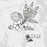 Hand drawn sage Stock Photography