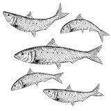 Hand Drawn Sardine Royalty Free Stock Images