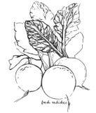 Hand-drawn schetsradijs Royalty-vrije Stock Afbeelding