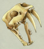 Hand drawn scull of an extinct sabre toothed tiger Stock Photography