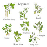 Hand drawn set of culinary agricultural legume plants. Vector illustration Royalty Free Stock Photography