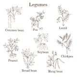 Hand drawn set of culinary agricultural legume plants. Vector illustration Royalty Free Stock Photos