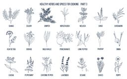 Hand drawn set of culinary herbs and spices. Vector illustration Stock Photography
