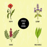 Hand drawn set of culinary herbs and spices. Vector illustration Stock Images