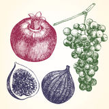 Hand drawn set of Fruits with Pomegranate, Figs and Grapes. Royalty Free Stock Photos