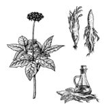 Hand drawn set of ginseng plant, oil and roots. Vintage vector sketch stock photo