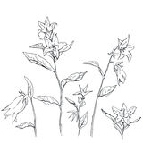 Hand drawn set of graphic flowers Campanula bellflower Stock Photo