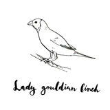 Hand drawn set of graphic isolated bird Lady Gouldian Finch on w. Hite background with handwritten words Stock Photo