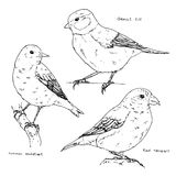 Hand drawn set of graphic isolated birds common redstart red cro Stock Photography