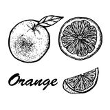 Hand drawn set of orange. Exotic tropical fruit vector drawings isolated on white background. Botanical illustration of Stock Photography