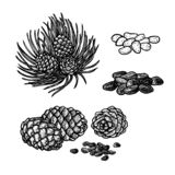 Hand drawn set of pine nuts and cones. Vintage vector sketch stock image