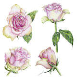 Hand-drawn set of roses. Beautiful pencilled set of pink roses with leaves Royalty Free Stock Images