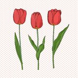 Hand drawn set of side view red tulip flower, sketch style vector illustration isolated on dotted background. Hand drawing of tuli. Decorative hand draw vector Stock Image