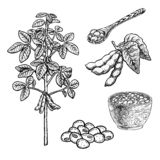Hand drawn set of soy plant porridge in bowl, spoon and beans. Vintage vector sketch stock photos