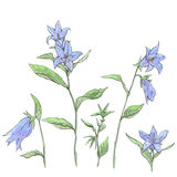 Hand drawn set of watercolor flowers Campanula bellflower Royalty Free Stock Photo
