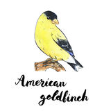 Hand drawn set of watercolor isolated bird American Goldfinch wi Royalty Free Stock Photo