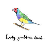 Hand drawn set of watercolor isolated bird Lady Gouldian Finch o. N white background with handwritten words Royalty Free Stock Photos