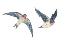 Hand drawn set of watercolor isolated bird swallow on white back Stock Photos