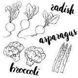 Hand drawn set of watercolor vegetables radish asparagus broccol Royalty Free Stock Photography