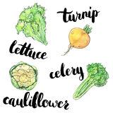 hand drawn set of watercolor vegetables turnip cauliflower lettuce celery with handwritten words on white background stock illustration