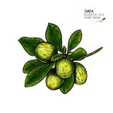 Hand drawn shea plant branch and nuts. Engraved colored vector illustration. Medicinal, cosmetic plant. Moisturizing. Butter,essential oil. Cosmetic, treating stock illustration